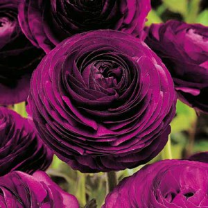 purple-ranunculus