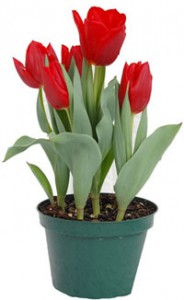tulips-indoor-pot